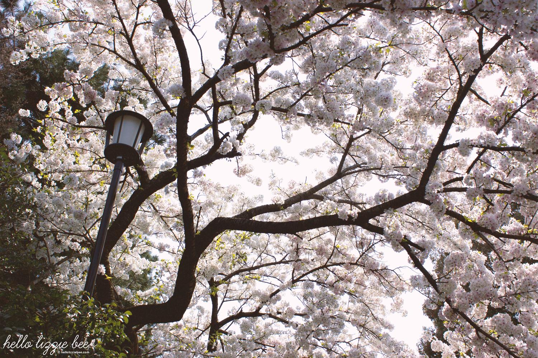 japanese gardens, sakura, cherry blossom