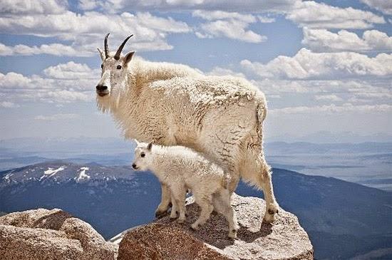 Cabra das Montanhas Rochosas no penhasco