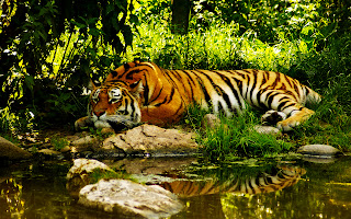 Tiger Resting near River Jungle Forest HD Wallpaper