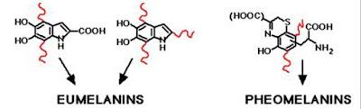 Eumelanins-and-Pheomelanins