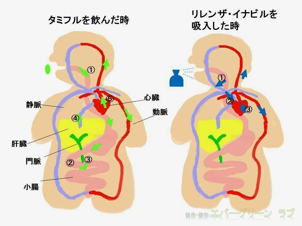 薬の作用の現れ方 経口投与 吸入の作用箇所の違い 内服、吸入で吸収される部位 口から飲んだ時とスプレーで吸入した時、薬はどうやって効く? のど 肝臓 静脈 動脈 小腸から門脈を通って肝臓へ 体内動態と効果が発現する部位 有効性  吸収 代謝 ADME 図説 イラスト タミフル リレンザ イナビル オセルタミビル ザナミビル ラニナビル インフルエンザの薬は何がいいか イラスト 図説