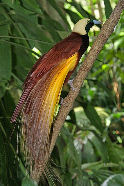 The Bali Bird of Paradise
