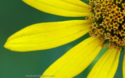 http://fotobabij.blogspot.com/2015/08/soneczniczek-szorstki-heliopsis-scabra.html