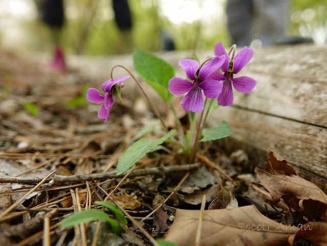 Viola japonica