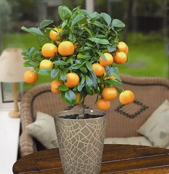 Домашний апельсин