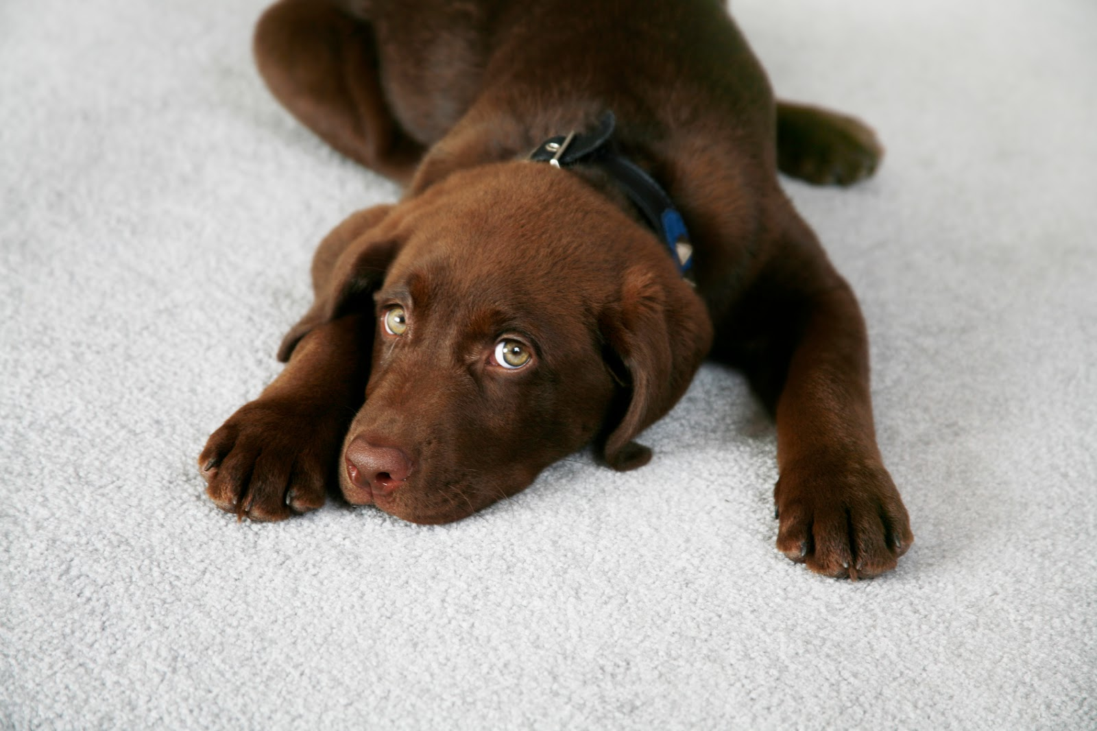 How To Remove Dog Urine Stains From Carpet