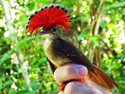 Maria-leque, Onychorhynchus coronatus, aves do brasil, Royal Flycatcher, birding, birdwatching, tocantins, aves do Tocantins, foto Maria-leque, fotos de aves, fotos de pássaros, animal