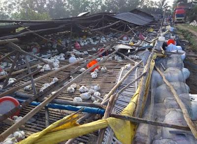Beredar Foto-foto Kandang Ayam Broiler Ambruk di Way Jepara