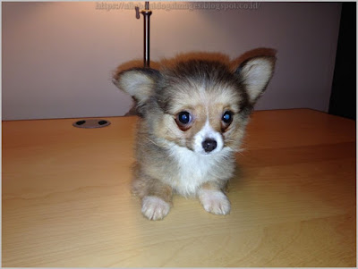 All About Dogs Images: Long Haired Teacup Chihuahua