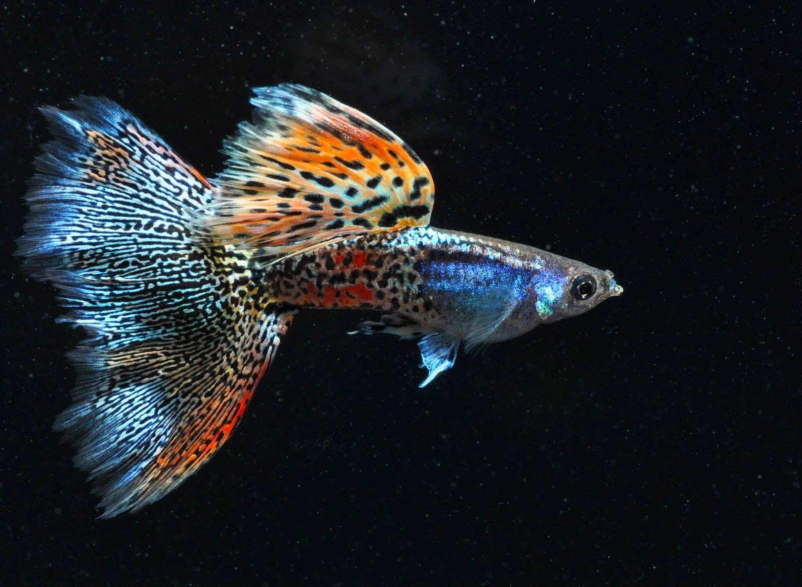 Swordtail Guppies: The IFGA At A Crossroads; Can re ...