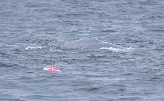 Fin whale and mylar balloon
