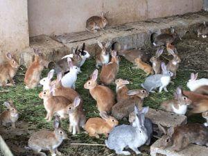 دراسة جدوى مشروع مزرعة لتربية الأرانب  2020 بالتفصيل Rabbit farm project