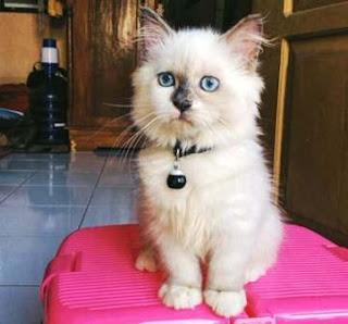 Daftar Harga Kucing Himalaya, Kucing Lucu dengan Wajah Mirip Boneka