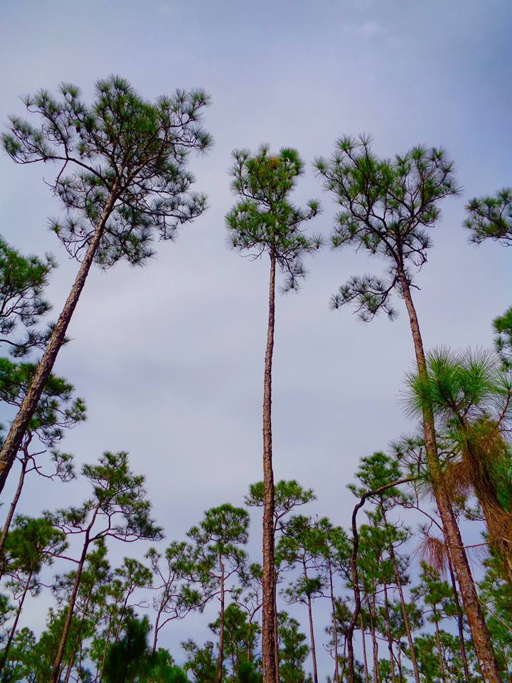 Slash pines at Everglades National Park