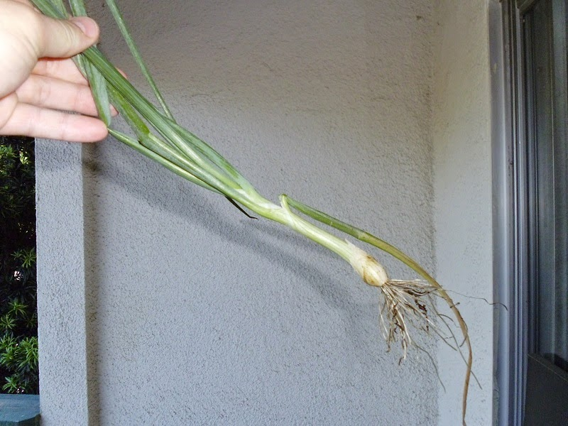 Harvested Green onion