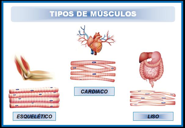 Musculos Tipos on Dibujos De Corazon Es Para Colorear