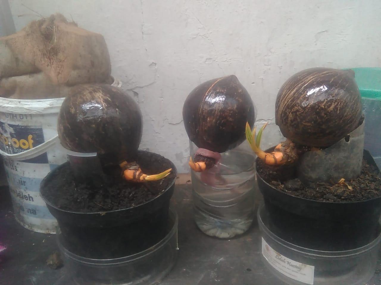 Proses Panjang Untuk Sebuah Koleksi Bonsai Kelapa