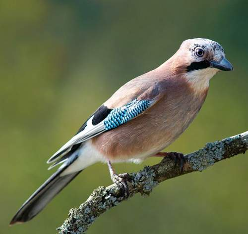 Birds of India - Photo of Eurasian jay - Garrulus glandarius