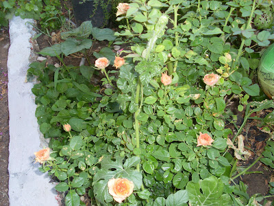 φυτα όλα μαζί μπερδεμένα γι αυτο και ο τίτλος της ανάρτησης ατίθασα,τριανταφυλλία με πορτοκαλί τριαντάφυλλα,καρπουζια και κάποια άλλα που δεν ξεχωρίζουν καλά