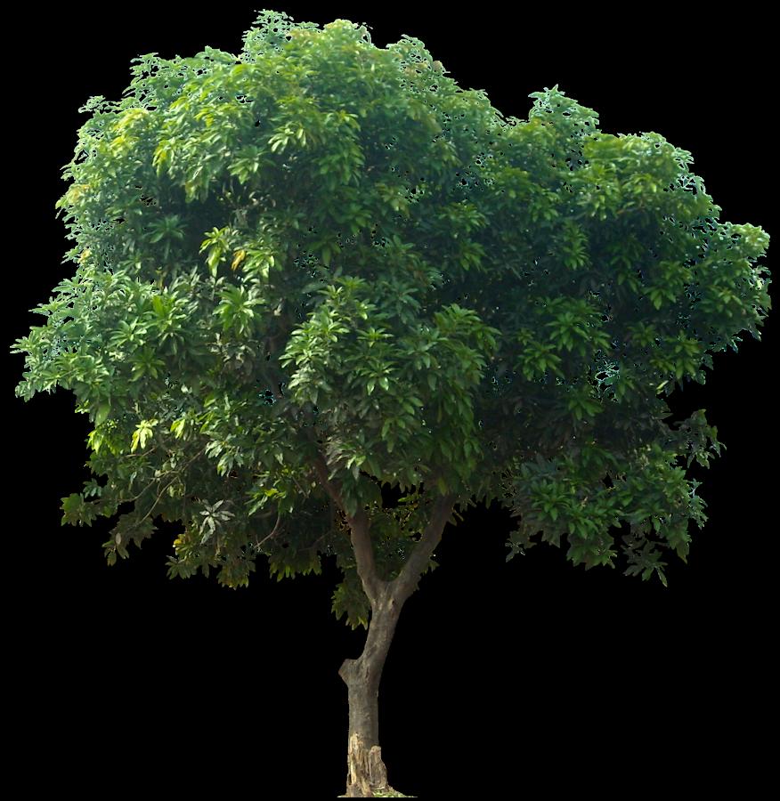 Gambar PNG Pohon Mangga MIDE studio
