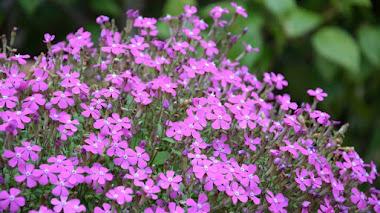 Plantas mediterráneas que florecen en invierno: Silene pseudoatocion