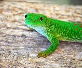 Lizard in Ambanoro Antsiranana, Madagascar photo by Frontieroffical