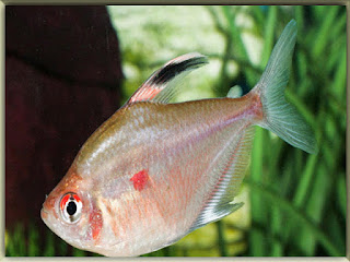 Bleeding Heart Tetra Fish Pictures