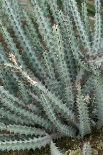 Euphorbe de Greenway - Euphorbia greenwayi