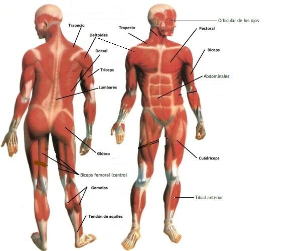 Resultado de imagen de músculos para niños