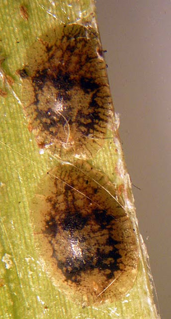 Beyond the Human Eye Scale insects