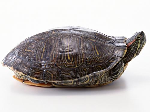 Funny 3d Animal Turtle Wallpapers Hd: Funny Turtle Wallpaper Hd