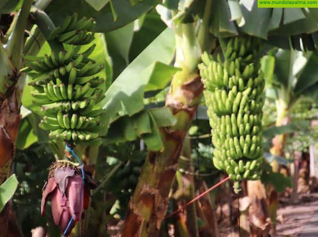 El Gobierno de Canarias completa el pago de 141 millones a los productores de plátano