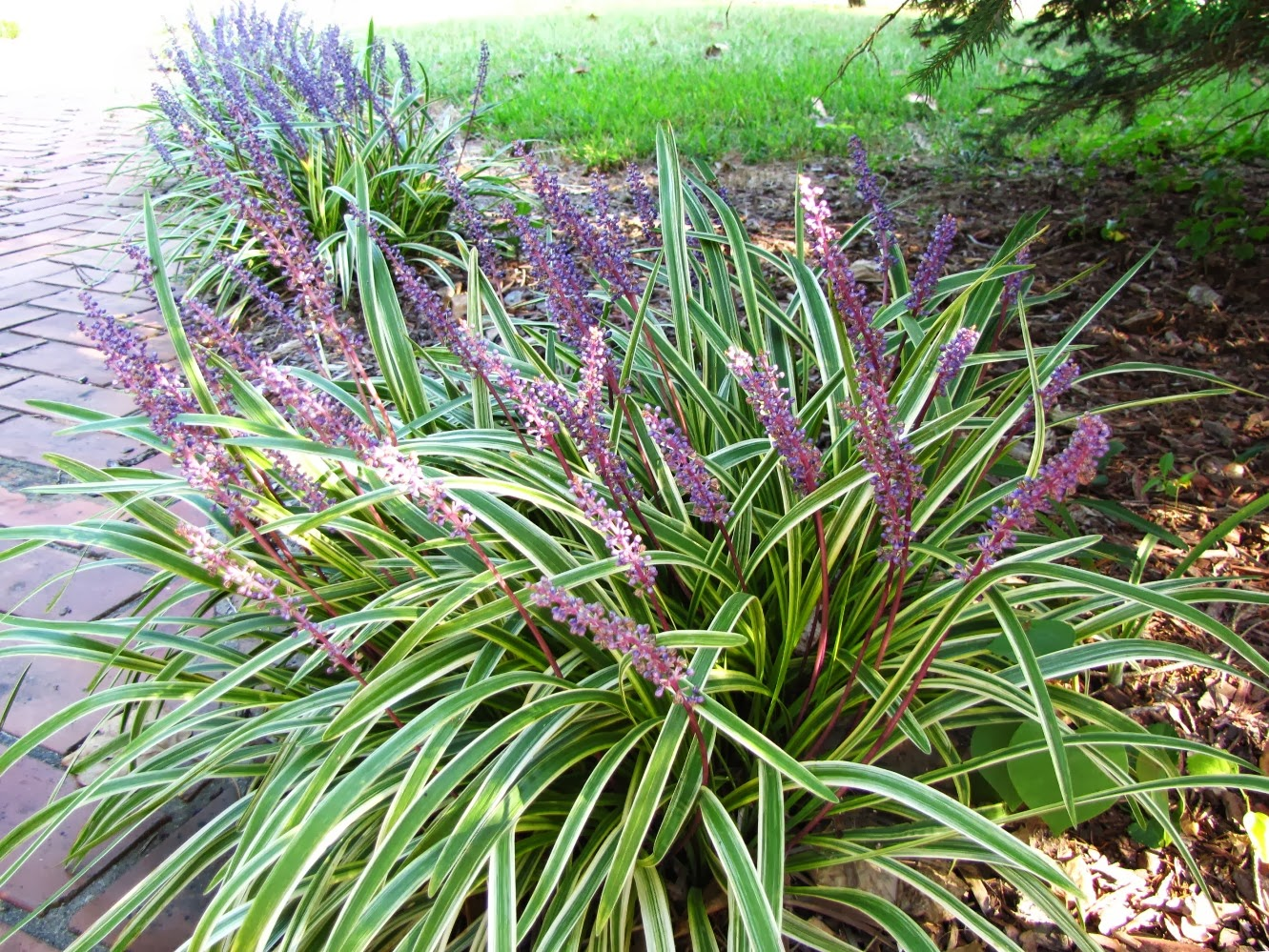 Views from the Garden: Lilyturf: Liriope muscari