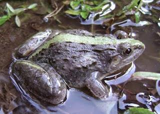 kodok bullfrog