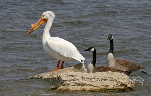 Pelican facts, information and pictures 1