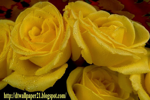 flower, flower backgrounds, images, rose, wallpapers,