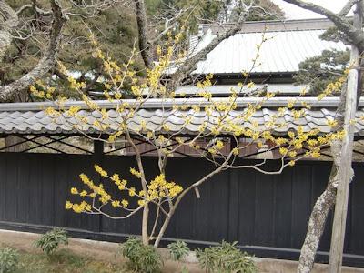 東慶寺のマンサク