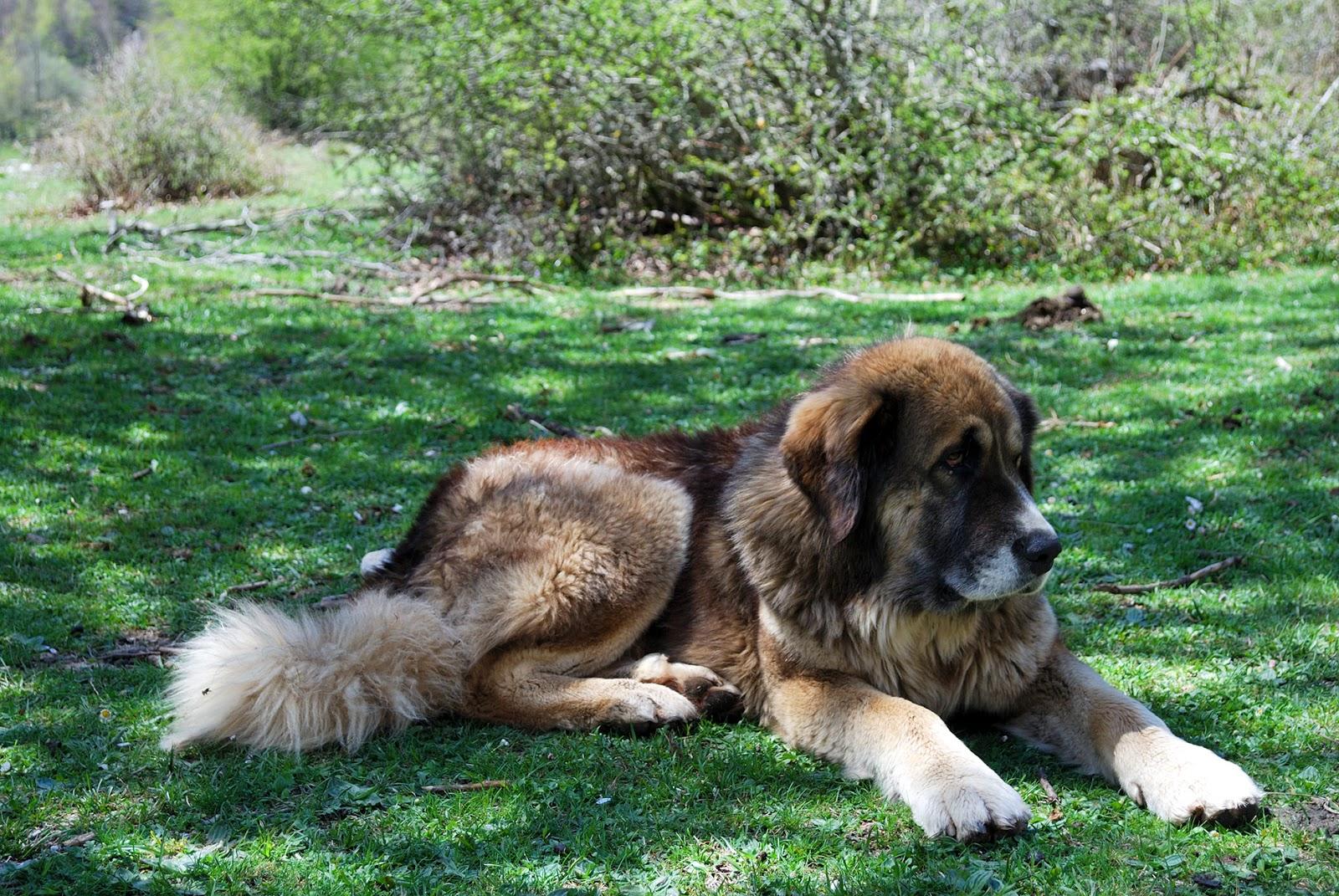 fuente dé cantabria picos europa españa montaña mastin perro pastor