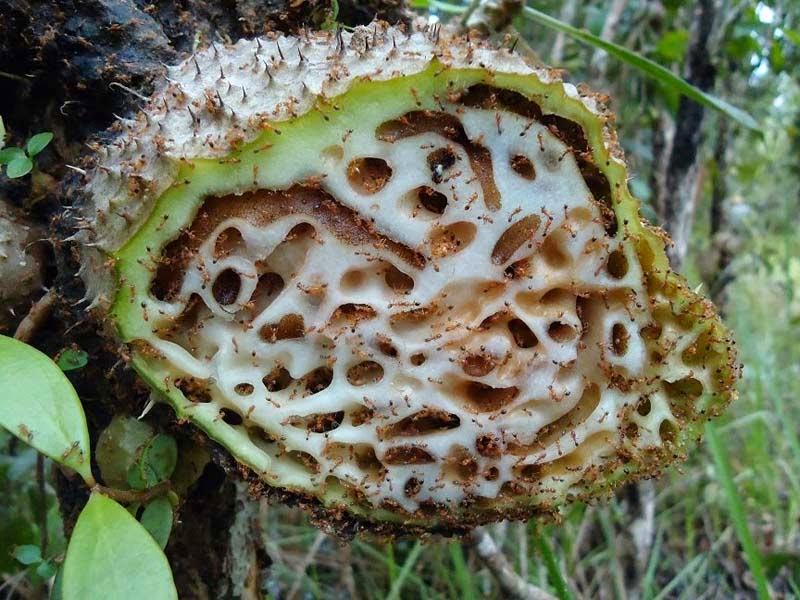 manfaat sarang semut untuk penderita diabetes