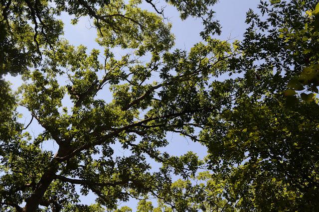 oak leaves against the sky