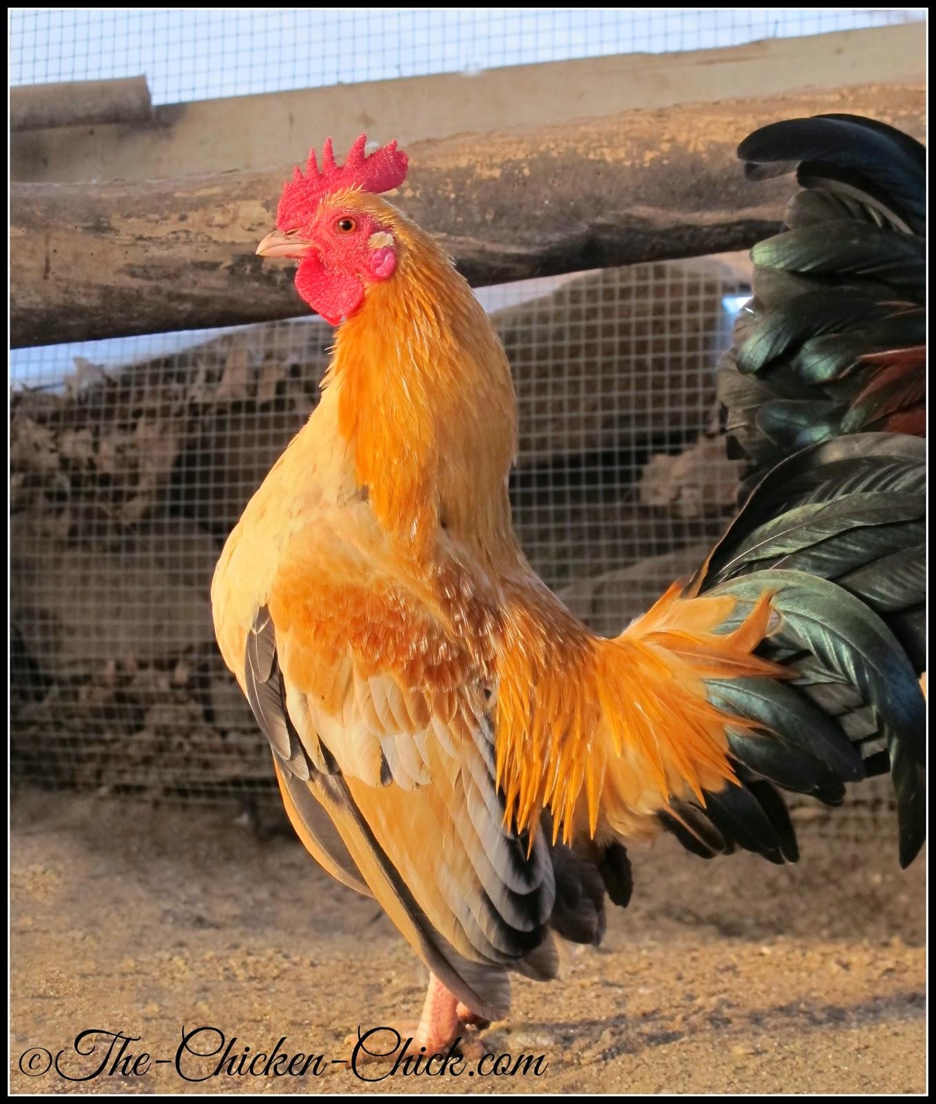 Caesar (Serama cockerel)