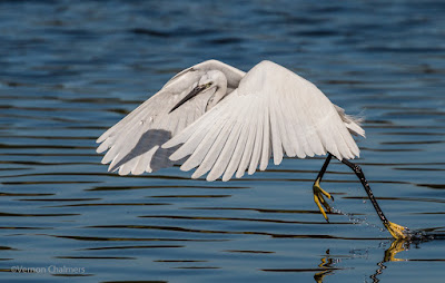 Little Egret  :  Canon EOS 70D / Canon EF 70-300mm f/4-5.6L IS USM Lens
