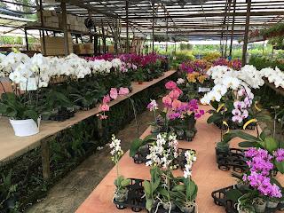 Phalaenopsis orchid at World Farm