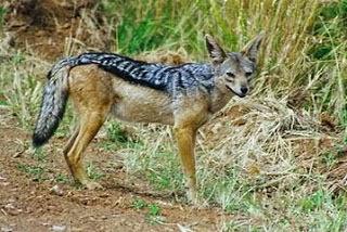 Chacal de dorso negro, Canis mesomelas