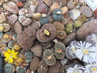 Close-up of brown Lichops succulent plants interspersed with brown stones and a couple white and yellow flowers.