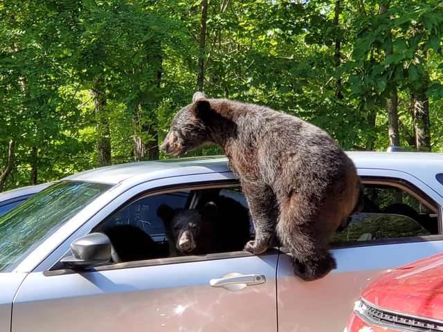 Guy Found An Entire Family Of Bears In His Car
