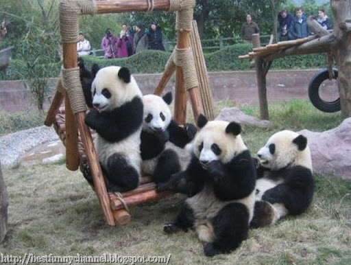 Pandas in the swing.