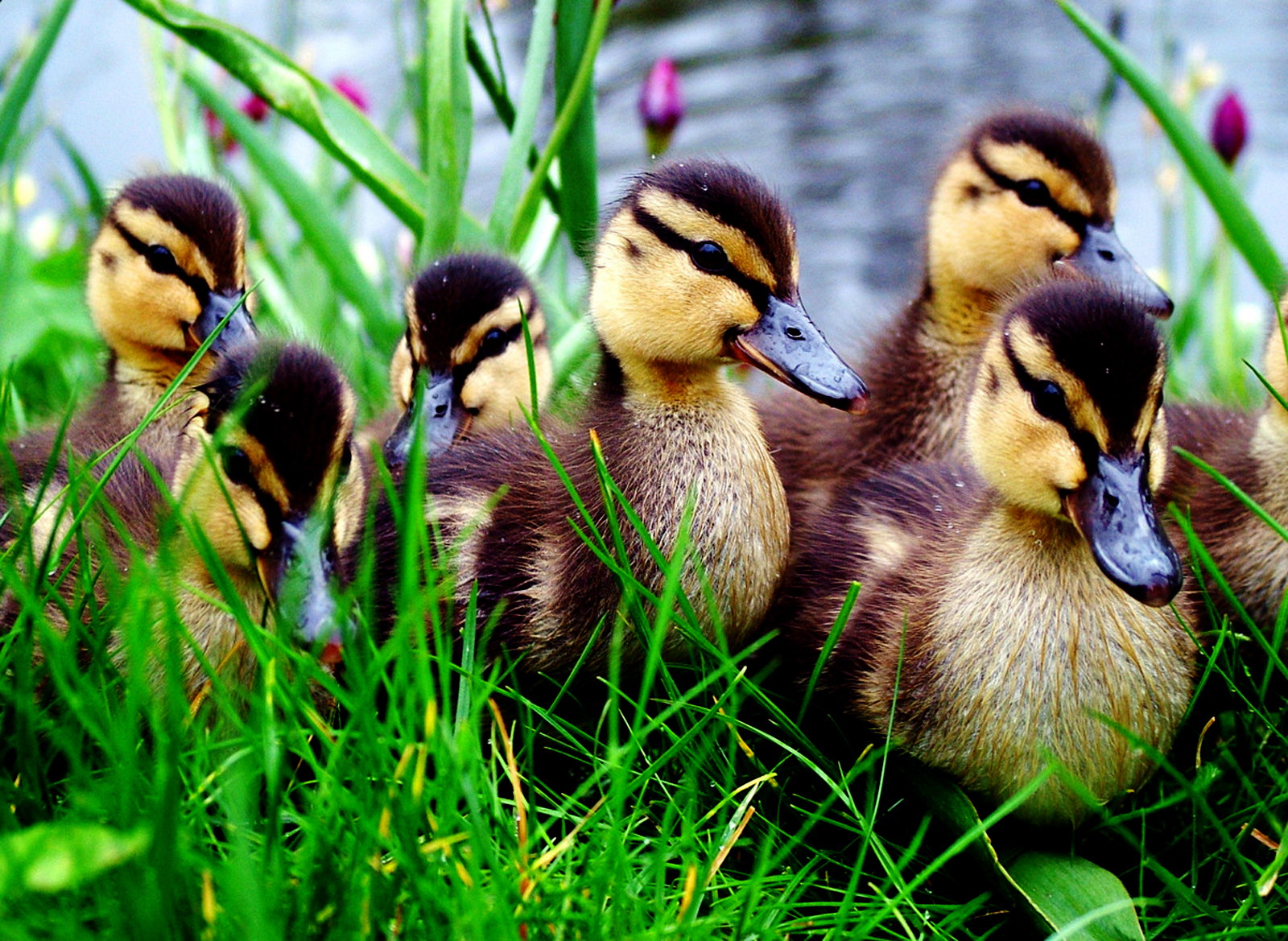 http://3.bp.blogspot.com/-vVte11jVZAI/TrAesJFgnLI/AAAAAAAAEIg/nGsKOIh3fhA/s1600/Cute_Little_Ducks_HD_Wallpaper_%252BVvallpaper.Net.jpg