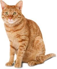 Kucing Sailan dan Karakteristiknya