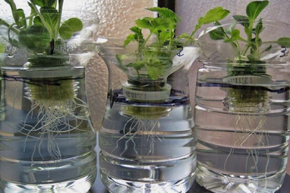 Menanam Hidroponik Dengan Botol, Ini 6 Cara Mudahnya!